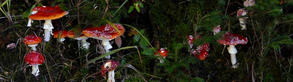 Fliegenpilz Natur Schwarzwald Naturpark